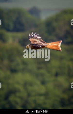Red kite (milvus milvus) showing it's large forked tail in the sunlight in flight - Stock Photo