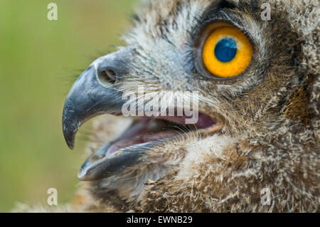 Eurasian Eagle Owl (Bubo bubo), portrait - Stock Photo
