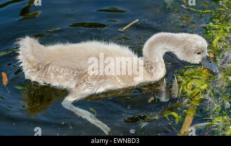 Mute swan cygnet (cygnus olor) drinking water from a lake in the UK. - Stock Photo