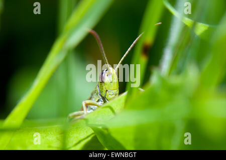 Meadow Grasshopper (Chorthippus parallelus) on gras germany europe - Stock Photo
