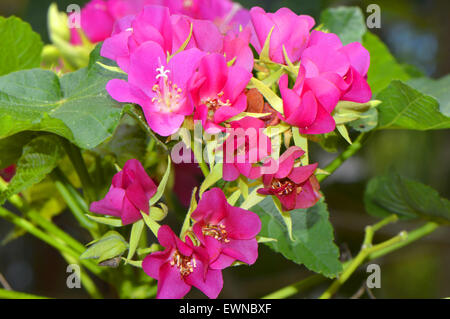 Seminole dombeya, Tropical Hydrangea dombeya burgessiae 'seminole' - Stock Photo