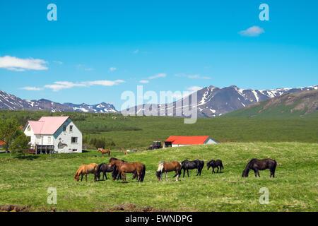 Typical icelandic farm with grazing icelandic horses - Stock Photo