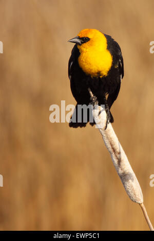 A Yellow-headed Blackbird perched on a leaning cattail. - Stock Photo