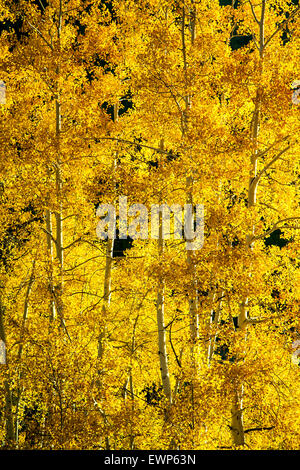 Aspen trees and trunks in Fall, Gunsight Pass Road, Gunnison National Forest, near Crested Butte, Colorado USA - Stock Photo