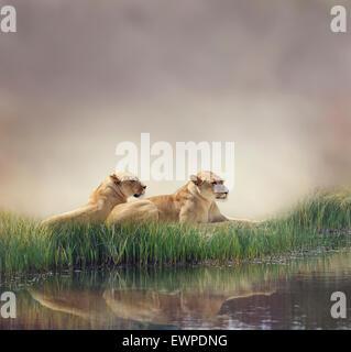 Female Lions Resting Near Pond - Stock Photo