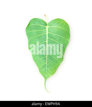 Bodhi leaf green leaf isolated on white background. - Stock Photo
