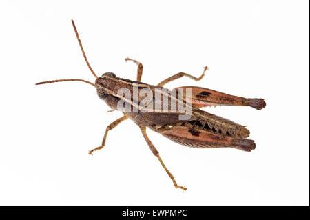 Wingless grasshopper, Phaulacridium vittatum - Stock Photo