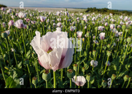 beautiful white pink poppy in crop field at sunset - Stock Photo