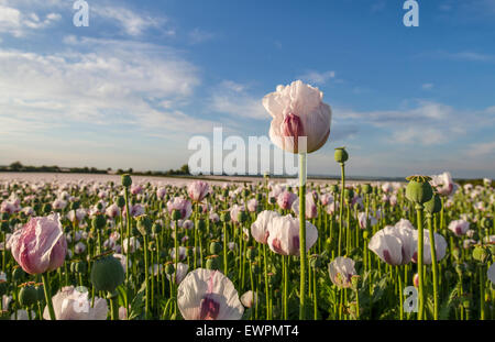sunset over white pink poppies in crop field - Stock Photo