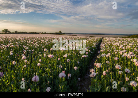 sunset over opium poppy field crop with blue sky - Stock Photo