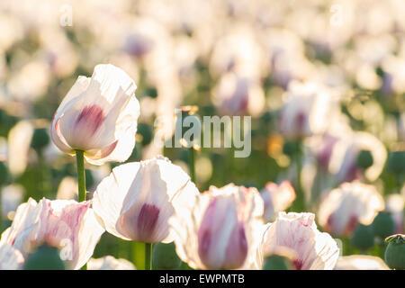 sun shining on opium in field - Stock Photo