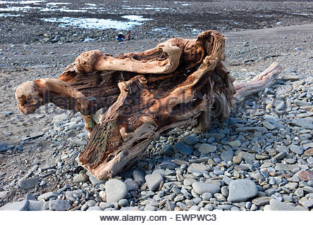 Large piece of weathered driftwood washed up on the beach at Aberaeron, Ceredigion, Wales, UK - Stock Photo