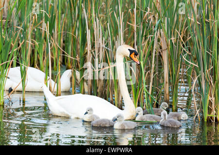 Couple white swans with young cygnets swimming on water with reed - Stock Photo