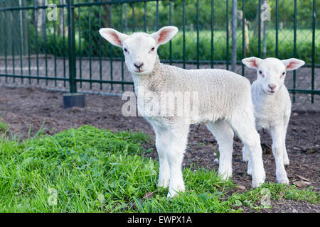Two little white lambs standing in green grass on sunny day in spring - Stock Photo