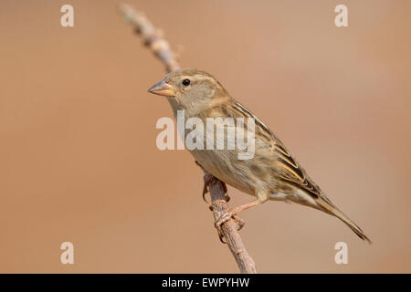 Spanish Sparrow Female - Stock Photo