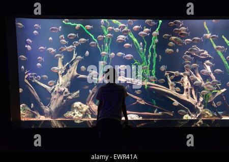 child look at a large aquarium with piranha - Stock Photo