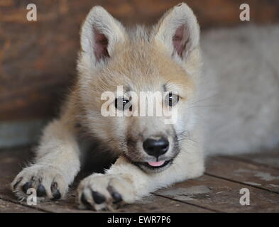 Tabor, Czech Republic. 30th June, 2015. Arctic wolf cub (Canis lupus arctos), known as the Melville Island wolf - Stock Photo
