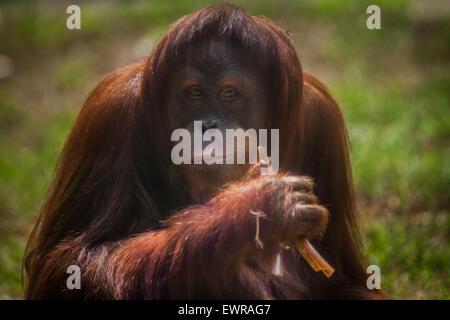 Sumatran orangutan in Schmutzer Primate Center, Jakarta. - Stock Photo