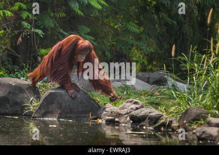 Sumatran orangutan (Pongo abelii) at Schmutzer Primate Centre, Ragunan Zoo, Jakarta. - Stock Photo