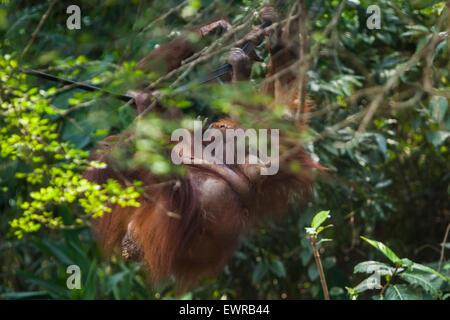 Sumatran orangutans (Pongo abelii) at Schmutzer Primate Center, Jakarta. - Stock Photo