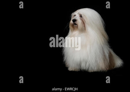 Formal portraits of a Havanese dog, the national dog of Cuba - Stock Photo