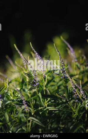 Veronica flowers by the evenings sun. - Stock Photo