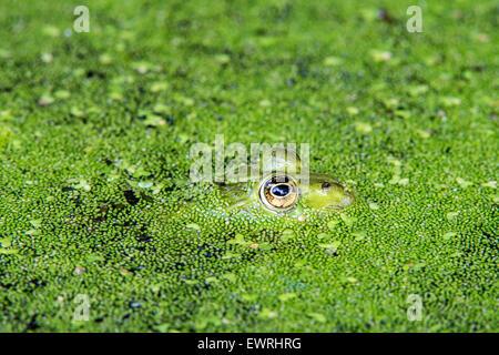 Edible frog / common water frog / green frog (Pelophylax kl. esculentus / Rana kl. esculenta) floating among duckweed - Stock Photo
