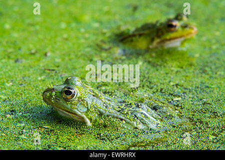Two edible frogs / common water frog / green frog (Pelophylax kl. esculentus / Rana kl. esculenta) among duckweed - Stock Photo
