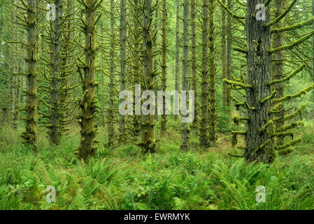 Moss covered Spruce trees and ferns. Silver Falls State Park, Oregon - Stock Photo