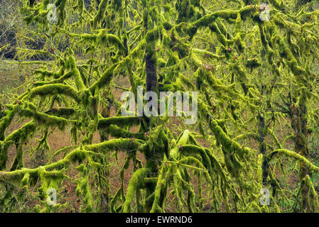 Moss covered Maple trees. Silver Falls State Park, Oregon. Stock Photo