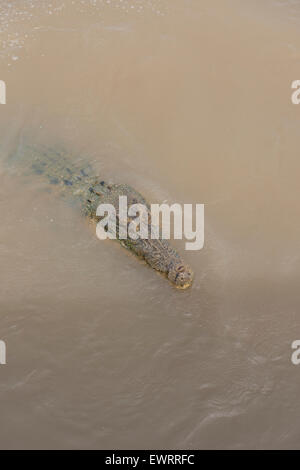 Australia, NT, Winnellie 1 hour from  Darwin. Window on the Wetlands Nature Reserve, Adelaide River. Saltwater crocodile. - Stock Photo