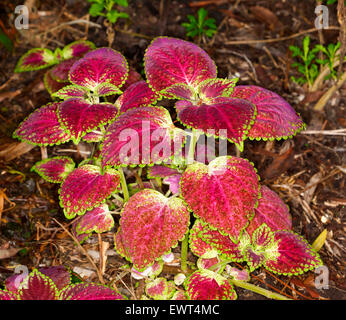Vivid red leaves with green and yellow edges of coleus, painted nettle plant, Solenostemon scutellarioides on dark - Stock Photo