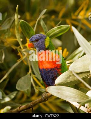 Rainbow lorikeet, Trichoglossus haematodus colourful Australian parrot among flowers and foliage of velvet wattle - Stock Photo