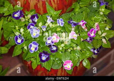 Cluster of pink, mauve & purple flowers of Torenia fournieri, Wishbone flower with raindrops on petals & emerald - Stock Photo