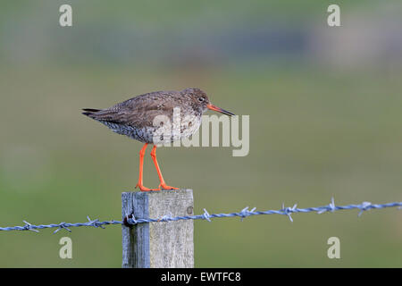 Common Redshank on a post Outer Hebrides - Stock Photo