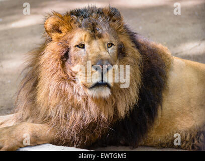 Portrait of male lion at zoo - Stock Photo