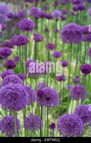 Allium in flower on an allotment - Stock Photo