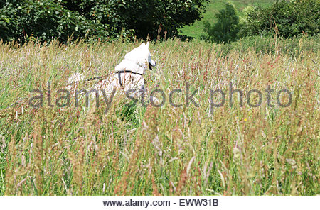 Middleton-in-Teesdale, Co Durham UK 1st July 2015  On the hottest July day since records began a dog (Three quarter - Stock Photo