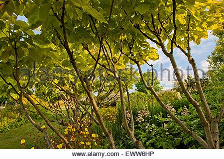 yellow catalpa stock photo royalty free image 93640831. Black Bedroom Furniture Sets. Home Design Ideas