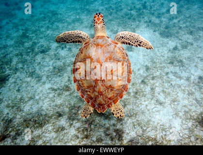 A green sea turtle swims over a sea grass bed off Maho Beach on the island of St. John in the U.S. Virgin Islands, - Stock Photo