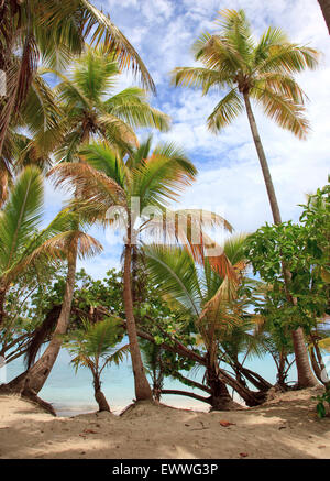 Palm trees line Oppenheimer and Gibney Beach on the north shore of the island of St. John in the U.S. Virgin Islands. - Stock Photo
