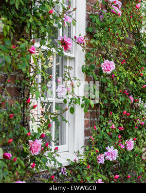 Climbing rose on the exterior wall of an old vicarage - Stock Photo