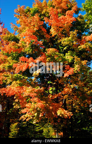 Maple tree leaves in stunning vibrant autumn colours Canyon Sainte Anne park Quebec - Stock Photo