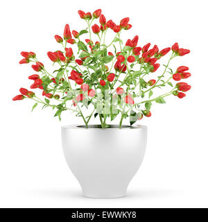 paprika plant in pot isolated on white background - Stock Photo