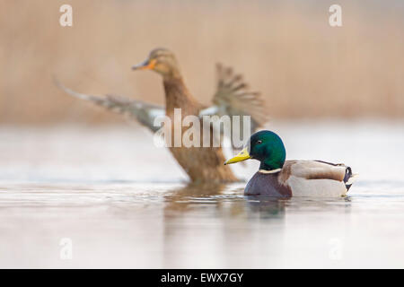 Mallard or wild duck (Anas platyrhynchos) couple, Middle Elbe, Saxony-Anhalt, Germany - Stock Photo