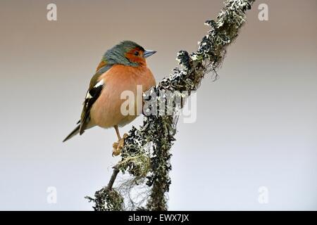 Common chaffinch (Fringilla coelebs), male sitting on branch, Hedmark, Norway - Stock Photo
