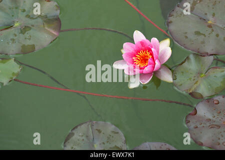 Pink water lily (Nymphaea sp.), Switzerland - Stock Photo