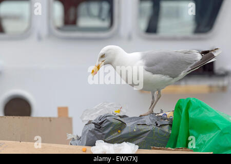 Lesser black-backed gull eating from a dustbin bag at  the harbor of IJmuiden, North Holland, The Netherlands. - Stock Photo