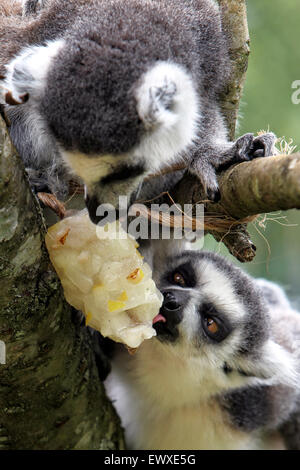Ring tailed lemurs cool off with a fruit filled ice lolly  at Cotswold Wildlife Park on the hottest July days for - Stock Photo