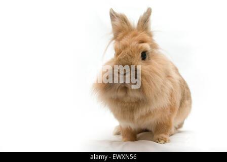 Brown lionhead rabbit - Stock Photo